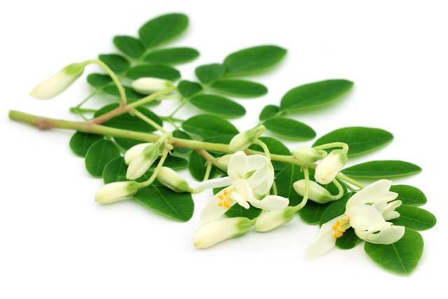 Moringa Pulver günstig kaufen und mehr erfahren über Wirkungen von Moringa Oleifera